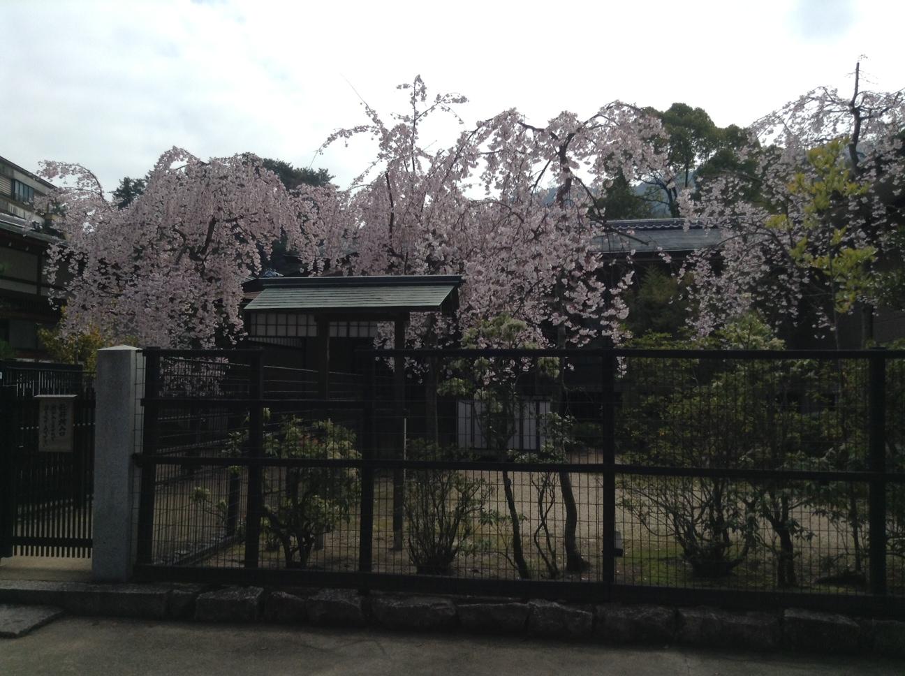 ここは桜が満開!